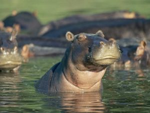 Flusspferde_in_den_Mzima_Springs_im_Tsavo_West_Nationalpark